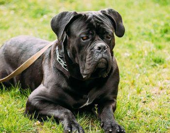 5 choses à savoir absolument sur votre cane corso